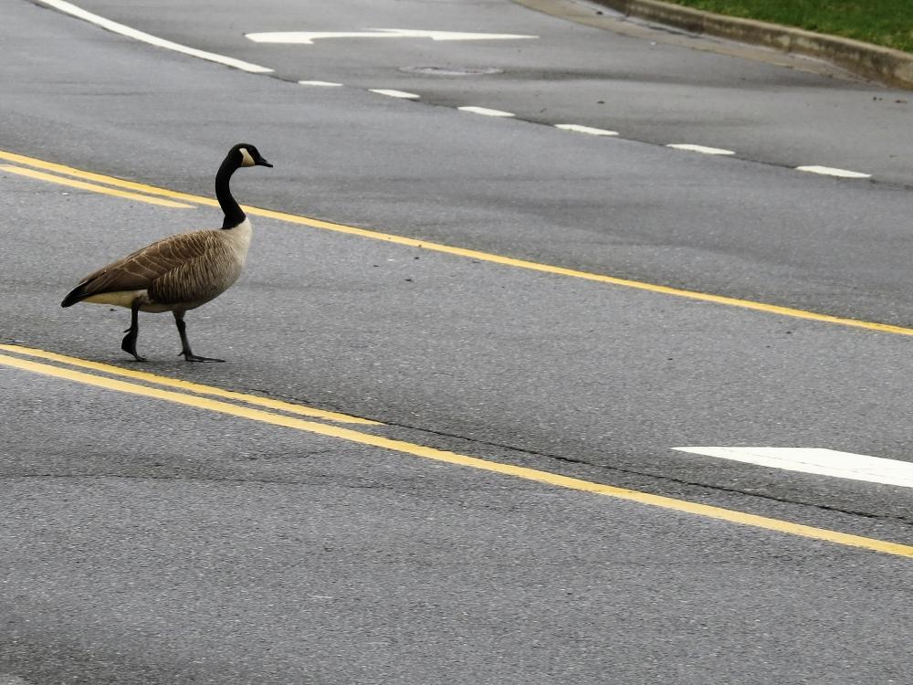 Widowed Goose (5/6)