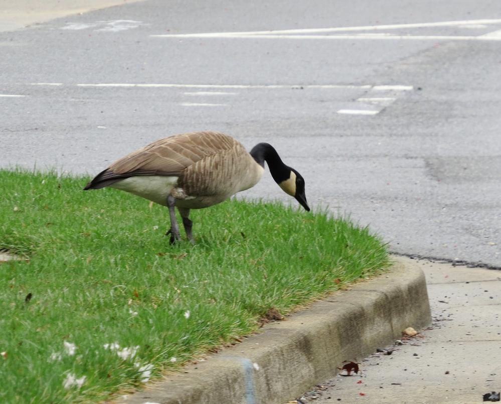 Widowed Goose (2/6)