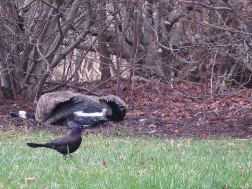 Widowed Goose (3/6)