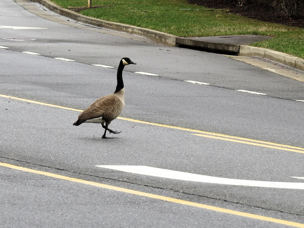 Widowed Goose (6/6)