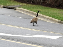 goose6