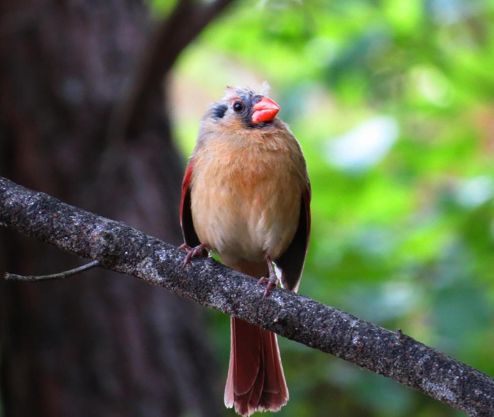 Juvenile Cardinal (1/2)