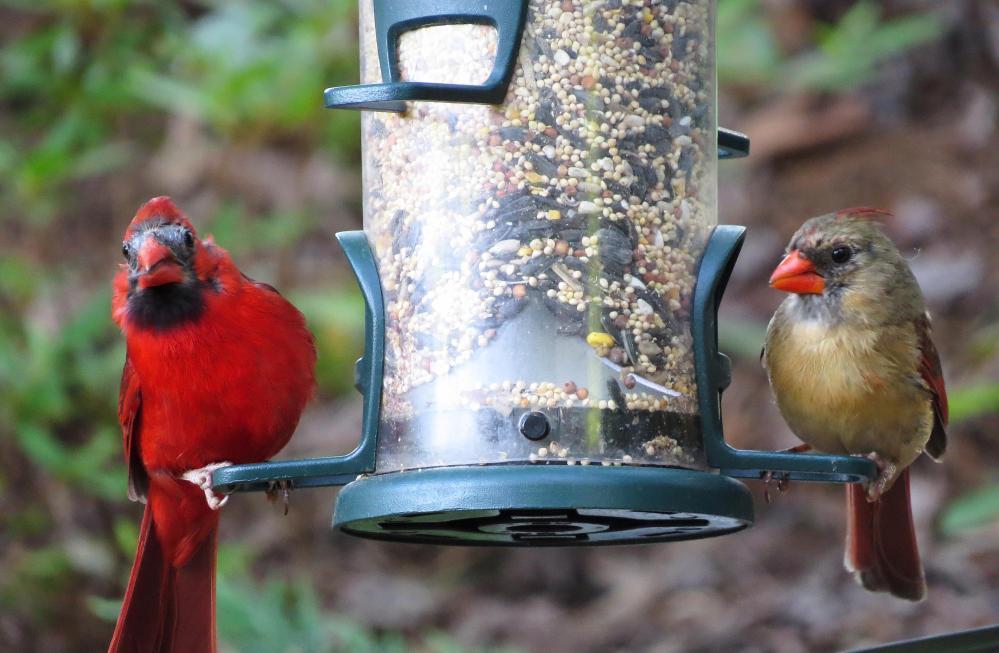 Juvenile Cardinal (2/2)