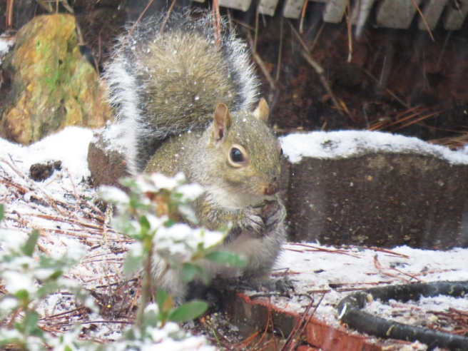 squirrelsnow